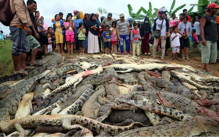 Indonesian Villagers Killed Nearly 300 Crocodiles In Revenge Attack